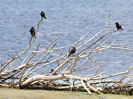Blackbirds1