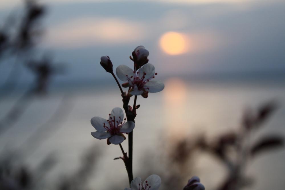 Sandcherry_Sunset