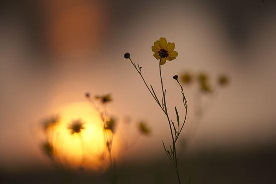 Sunrise through flowers, Yazoo National Wildlife Refuge, Mississippi